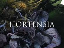 フランジュールのプリザーブドフラワー Hortensiaシリーズ。